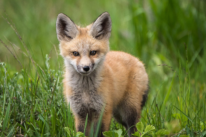 Single Kit Fox