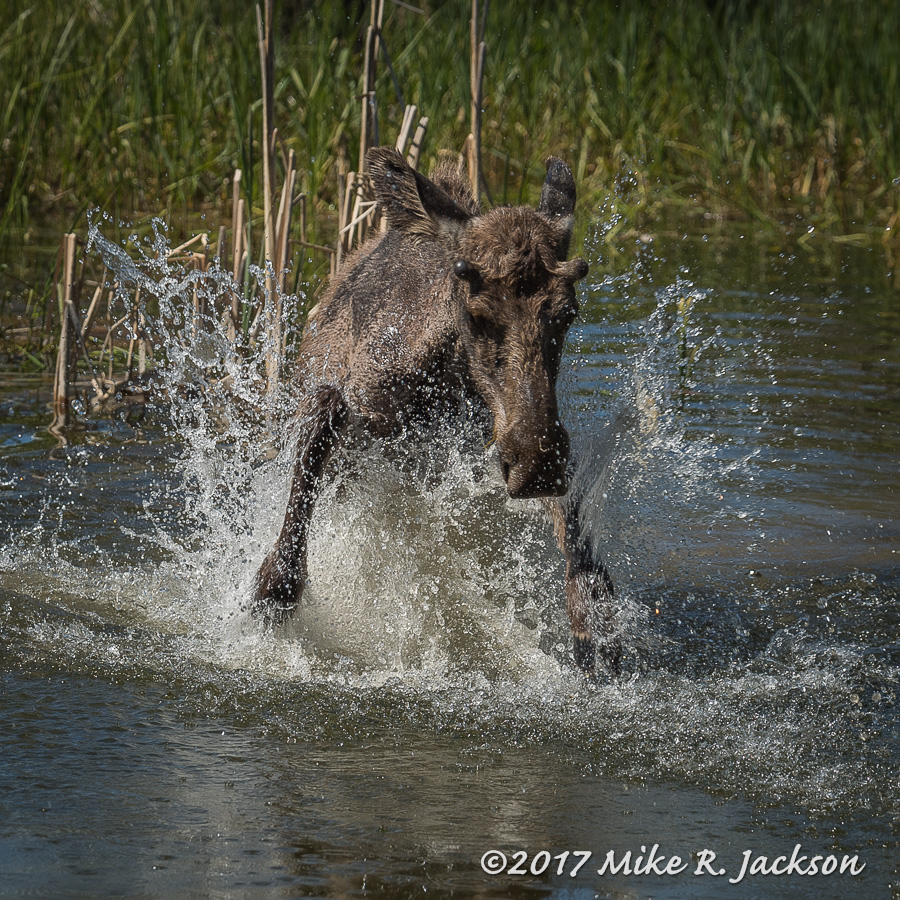 Splashing Moose