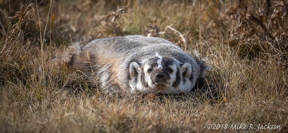 Stealthy Badger