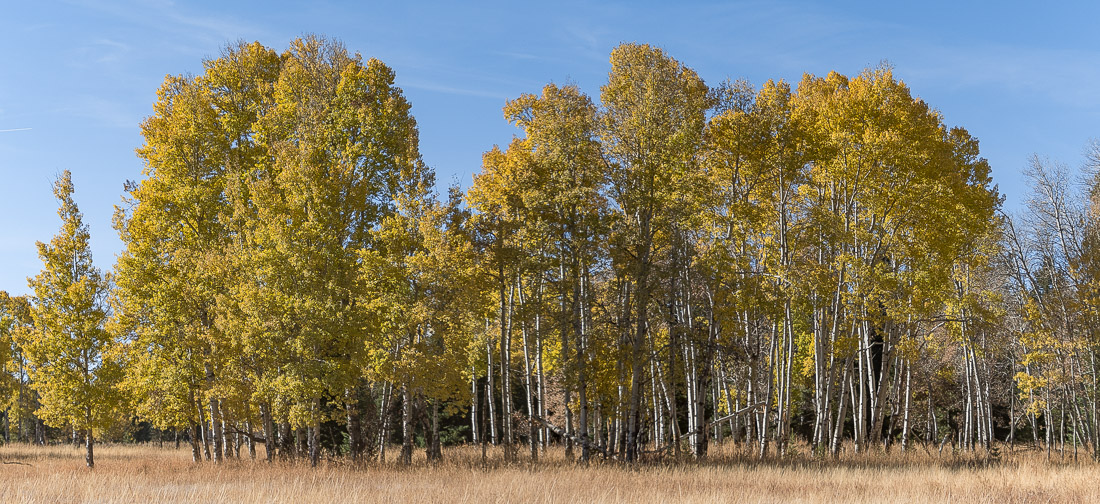 Late Season Aspens