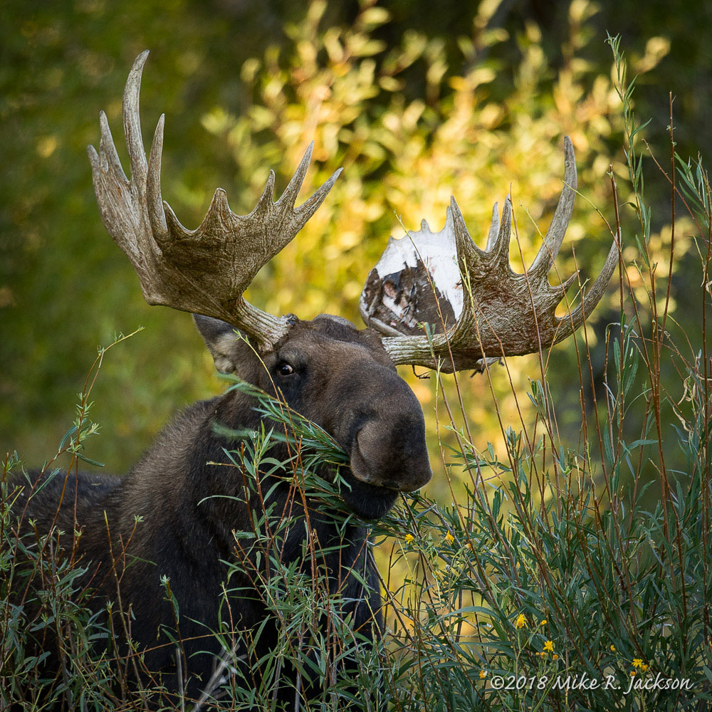 Shoshone Stripping Willows