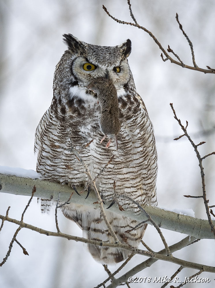Great Horned Owl with Prize