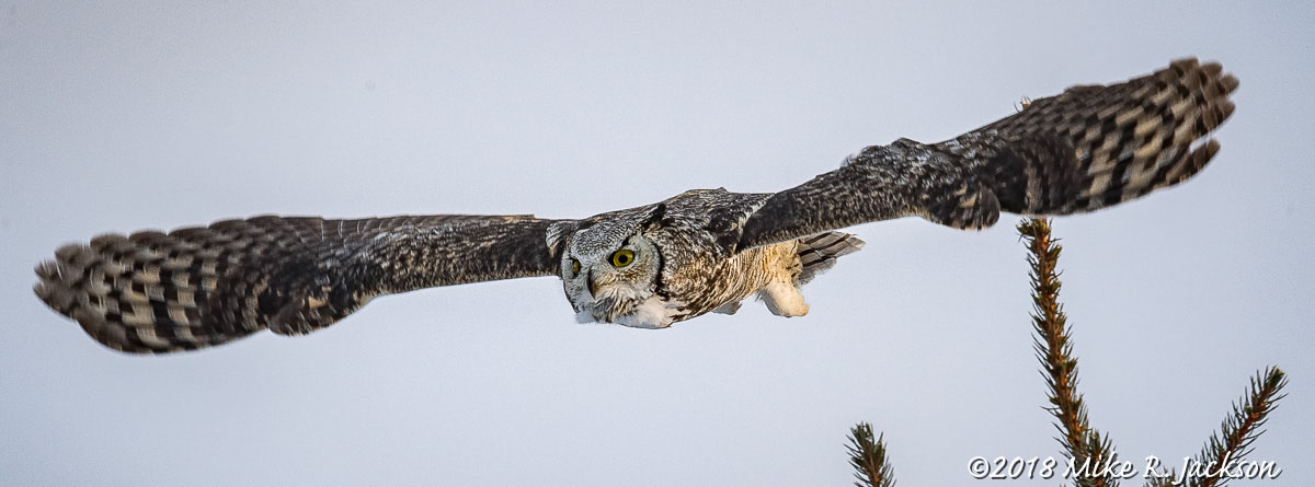 Evening Great Horned Owl