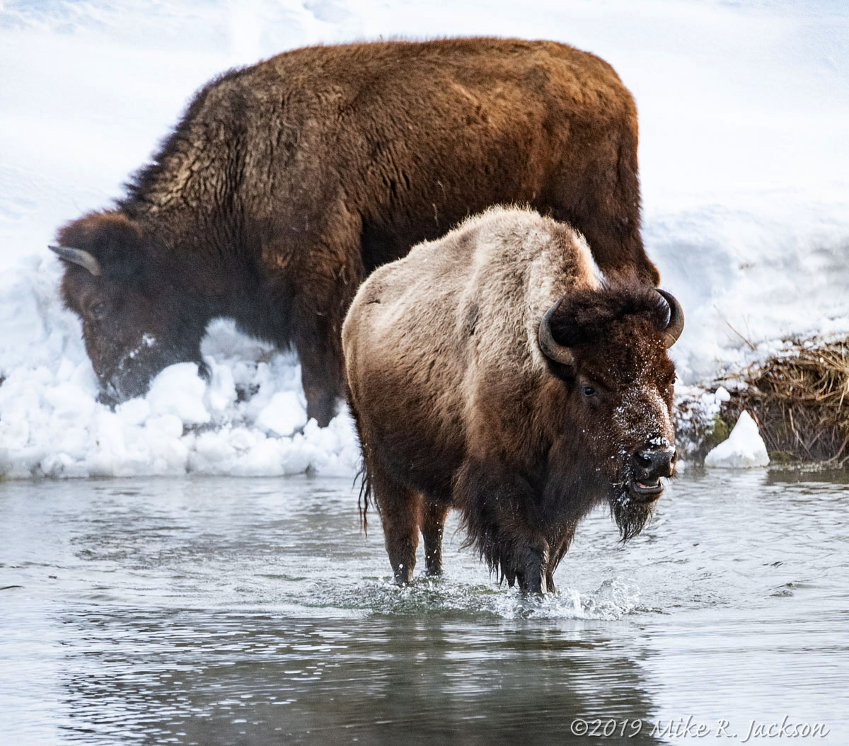 Bison in Pond