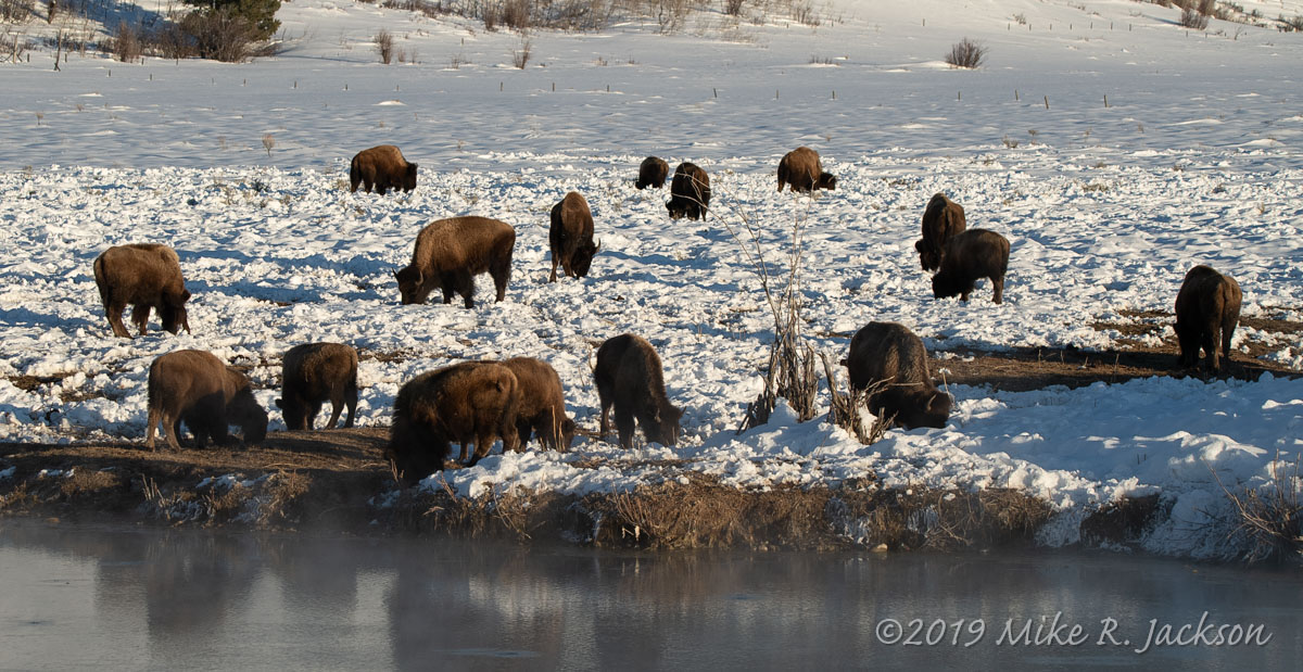 Bison at the Kelly Warmt Springs