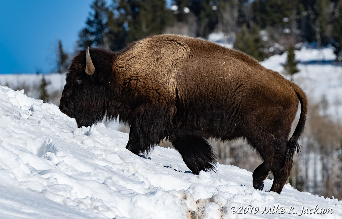 Bison on Incline