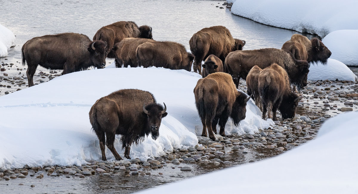 Bison in Gros Ventre
